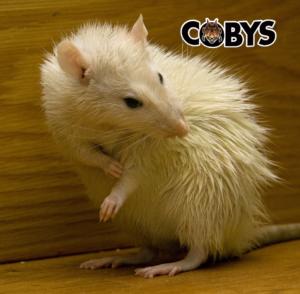 Rat Coby's Pest Control