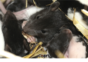 Coby's Tentless Termite & Pest Control Rats with Fleas